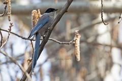 AZUWINMAG swinhoei 0809 (bryanjsmith62) Tags: azurewingedmagpie cyanopicacyanus crowsjaysandmagpies corvidae birdsofchina