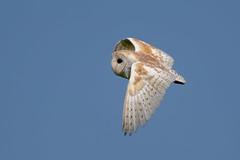Barn Owl (Simon Stobart) Tags: northeastengland barn owl tyto alba flying