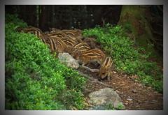 Le coquin avaient des frères et sœurs ! (jamesreed68) Tags: marcassins 68 88 alsace hautrhin faune grandest france canon eos 600d