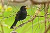 Blackbird singing (Rita Eberle-Wessner) Tags: blackbird amsel vogel bird animal tier closeup blauregen wisteria turdusmerula