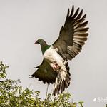 Kereru/NZ Wood Pigeon on Tree Lucerne thumbnail