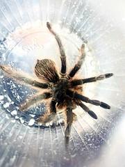 #tarantula #Cuidad_Universitaria #UNAM (Mrs. Tijeras) Tags: cuidaduniversitaria tarantula unam