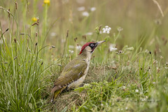 Woodpecker in the Meadow (pixellesley) Tags: greenwoodpecker woodpecker bird avian male hunting foraging searching meadow spring uk birdwatching free wild wildlife hedgeline picusviridis