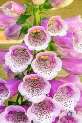 In en om het huis (carolienvanhilten) Tags: garden tuin garten bloemen flowers blumen poppy klaproos lelietje van dalen lilly valley calla digitalis vingerhoedskruid netherlands niederlande nederland lelystad