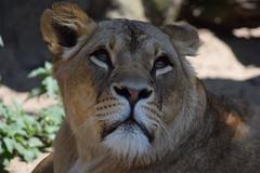 Kianga @ Artis 18-06-2017 (Maxime de Boer) Tags: kianga african lion lioness afrikaanse leeuw leeuwin panthera leo big cats katachtigen natura artis magistra zoo amsterdam animals dieren dierentuin gods creation schepping creator schepper genesis