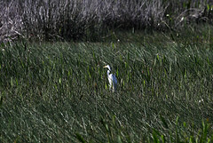 06-06-18-0021564 (Lake Worth) Tags: animal animals bird birds birdwatcher everglades southflorida feathers florida nature outdoor outdoors waterbirds wetlands wildlife wings