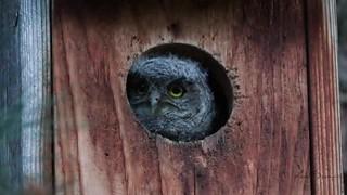 Western-Screech-Owlets-Mark-Summers
