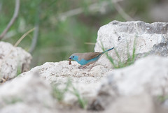Blue waxbill. (annick vanderschelden) Tags: waxbill bluewaxbill bird wildlife rocks greenbackground food feeding grass insect perched animal namibia