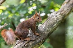 Ecureuil roux (sfrancois73) Tags: faune mammifère ecureuilroux affût