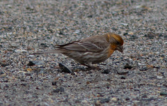 Orange House Finch (jforb) Tags: fringillidae housefinch orangevariant haemorhousmexicanus lincoln massachusetts unitedstates us