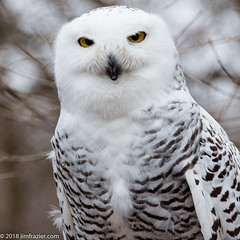 """I'm not cross-eyed, I'm just looking at the tip of my nose."" (Jim Frazier) Tags: 2018 20180203owlsstillmannaturecenter animals birds february forest jess jimfraziercom natural nature owls q4 snowy snowyowl southbarrington square stillmannaturecenter white woodland woods f10 fastpictures f20"