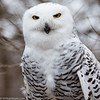 """""""I'm not cross-eyed, I'm just looking at the tip of my nose."""" (Jim Frazier) Tags: 2018 20180203owlsstillmannaturecenter animals birds february forest jess jimfraziercom natural nature owls q4 snowy snowyowl southbarrington square stillmannaturecenter white woodland woods f10 fastpictures f20"""