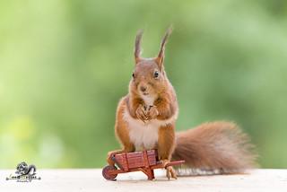 red squirrel is sitting on an wheelbarrow