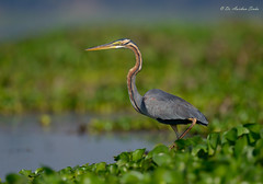 Gorgeous.... (Anirban Sinha 80) Tags: nikon d610 fx 500mm f4 ed vrii n g bokeh bird heron purple wetland natural neck beak hyacinth composition portrait