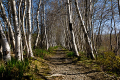 maine 18 birches (jfl1066) Tags: birches birchtrees spring maine mainewoods acadia acadianationalpark acadianps acadiahiking nationalparks hikinginacadianps hiking