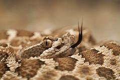 (Tony P Iwane) Tags: herping reptile snake rattlesnake northernpacificrattlesnake westernrattlesnake crotalusoreganusoreganus crotalusoreganus crotalus macro alamedacounty eastbay
