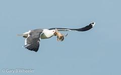 Lesser Black Backed Gull (Ponty Birder) Tags: g b wheeler pontybirder garywheeler birdsinflight gull slimbridge england nature