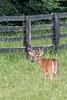 Buck (Glen in Franklin County) Tags: whitetail whitetailed deer buck blueridgeparkway franklincounty nature wildlife animals farm fence antler velvet canon tamron150600 virginia hunting