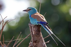 Abyssinian Roller (arthurpolly) Tags: abyssinianroller avian avianexcellence birds beautiful canon 7dmk2 100400is elements13 eos flickrdiamond gambia nature naturesfinest nationpark natureselegantshots photoshop wildlife exotic