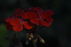 Dim Light in Winter (roanfourie) Tags: seeherbeauty protectmotherearth color red green nikon d3400 nikkor 70300mm ed dx afp vr f63 dslr raw gimp day outdoors flickr flick southafrica africa randfontein photography nature naturephotography floraofsouthafrica art macro plant plants flower flowers june102018 june 2018winter coldmonths