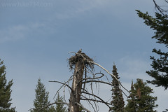 "Osprey nest with young • <a style=""font-size:0.8em;"" href=""http://www.flickr.com/photos/63501323@N07/27990100327/"" target=""_blank"">View on Flickr</a>"