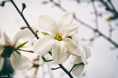 Magnolia (CharlieFreeman) Tags: flower makro white big tree mykolaiv ukraine charliefreeman
