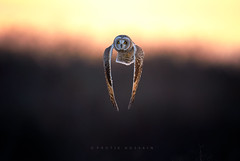 Wing clap (Protik Mohammad Hossain) Tags: short eared owl seo wing clap clapping flight bif