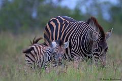 Zebra mare & foal (leendert3) Tags: leonmolenaar southafrica krugernationalpark wildlife nature mammals burchellszebra ngc npc coth5