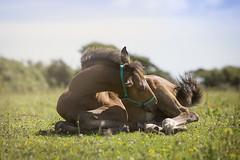 Summer baby (JulieMorrish) Tags: foal horse field horsephotography photographer cornwall stud baby canon5dmkiii canon