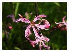 Lychnis flos-cuculi (M.L Photographie) Tags: flower fleur nature france normandie normandy eure naturelovers p900 coolpix nikon macro macrophoto macrophotography plant flore bestflowers plante