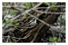 Mésange à longue queue.   #oiseaux #oiseau #mesange #hiver #ornithologie #ornitho (Remy G +) Tags: oiseaux ornithologie hiver ornitho mesange oiseau