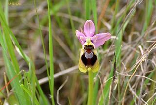 Orquídea abeja (Orophrys apifera)