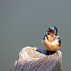 Young barn swallow (fizzybeth) Tags: picmonkey