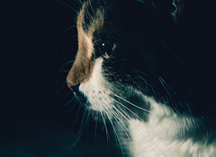 *** (donnicky) Tags: animal blackbackground cat closeup domesticanimal eyes home indoors nopeople oneanimal pet portrait publicsec sideview studioshot лилу