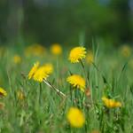 Golden Field thumbnail