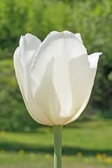 Last tulip (atranswe - working in the garden) Tags: dsc4299 sverige västernorrland ångermanland väja latn62°5818lone1742 tulip lasttulip sistatulipan white natur flower blomma outside outdoor ute plant macro atranswe