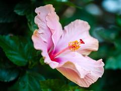 Primavera en México (ruifo) Tags: nikon d700 sigma 105mm f28 ex dg os hsm macro 11 flor flores flower flowers natureza naturaleza nature color colors colour colours cor cores colores rosa pink rosado