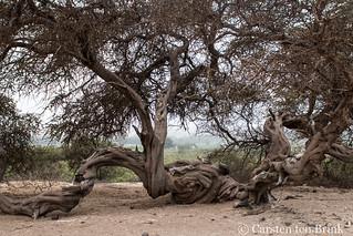 Tree at Cahuachi
