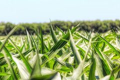 Corn (Mike Matney Photography) Tags: 2018 canon illinois june midwest troy corn field saintjacob unitedstates us