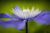 clematis (Nathaniel Macrae) Tags: clematis flower flowers nikon iamnikon nikond810 macro macrophotography sigma 105mm