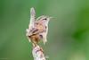 Marsh Wren (Linda Martin Photography) Tags: california eureka wildlife marshwren nature bird arcatamarsh cistothoruspalustris us usa coth coth5 naturethroughthelens ngc alittlebeauty specanimal
