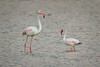 Zwergflamingo (Lesser flamingo) (tzim76) Tags: zwergflamingo phoeniconaias minor lesser flamingo rosaflamingo phoenicopterus roseus ausnahmeerscheinung wasser israel eilat birding wildlife nature
