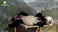 2018_06-07b (gkoo19681) Tags: beibei chubbycubby fuzzywuzzy feetsies toofers sofluffy naptime curledpaws toocute comfy ifit adorable sleepingangel darling danglingleg ccncby nationalzoo