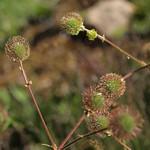 developing fruits of bigleaf avens, Geum macrophyllum var. perincisum thumbnail