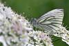 Green-veined on Chervil (AndyorDij) Tags: greenveinedwhite pierisnapi umbellifer england empingham rutland uk unitedkingdom andrewdejardin 2018 butterfly insects insect
