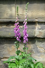 Sheffield - Ecclesfield, St Mary's Church (Glass Angel) Tags: ecclesfield sheffield southyorkshire flowers foxgloves