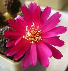 Sulcorebutia R259 (Alex_CL) Tags: sulcorebutia andyc