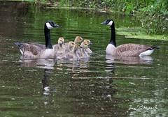 Geese-Delaware Canal Erwinna (dfbphotos) Tags: 2018 june spring waterfowl birds wildlife geese erwinna buckscounty places canal pa usa water