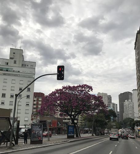 The pink trumpet tree, Consolation Street, São Paulo, Brazil.