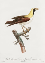 Emperor bird-of-paradise, female from Histoire Naturelle des Oiseaux de Paradis et Des Rolliers (1806) by Jacques Barraband (1767-1809). (Free Public Domain Illustrations by rawpixel) Tags: otherkeywords animal antique barraband bird birdofparadise cc0 creativecommon0 creativecommons0 drawing drawn emerald emperorbirdofparadise emperorofgermanysbirdofparadise femaleemperorbirdofparadise fly handdrawing handdrawn histoirenaturelledesoiseauxdeparadisetdesrolliers illustration jacquesbarraband jaques jaquesbarraband old paradisaeaguilielmi publicdomain rollers sketch vintage